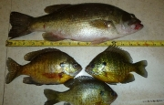 bass_and_bluegills_fisherbeck-jigs