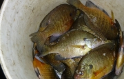 pail-bluegills-ice-fishing-fisherbeck-jigs