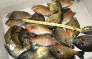 panfish-ruler-fisherbeck-jigs